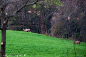 Cervo Parma Val Taro primavera 2013 (65)