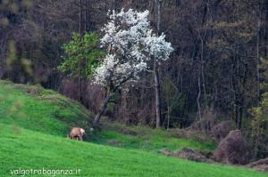 Cervo Parma Val Taro primavera 2013 (67)