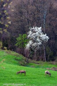 Cervo Parma Val Taro primavera 2013 (78)