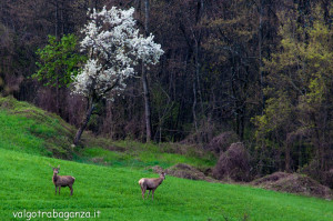 Cervo Parma Val Taro primavera 2013 (79)