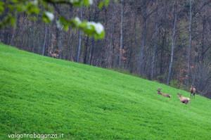 Cervo Parma Val Taro primavera 2013 (80)