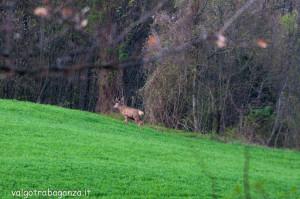 Cervo Parma Val Taro primavera 2013 (82)