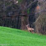 Cervo Parma Val Taro primavera 2013 (83)