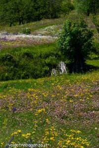 Groppo Albareto prati fiori (107) Valgotra multicolor 2013