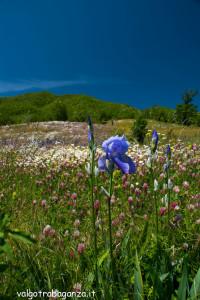 Groppo Albareto prati fiori (118) Valgotra multicolor 2013