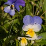 2013-06-11 (111) Viola tricolor