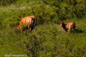2013-06-11 (124) Passo Cappelletta mucche