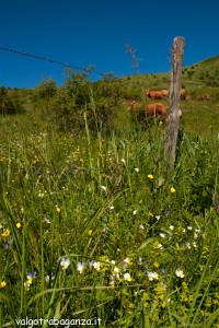 2013-06-11 (136) Passo Cappelletta fioriture