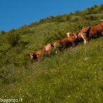 2013-06-11 (166) Passo Cappelletta mucche