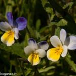 2013-06-11 (222) Viola tricolor