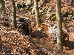 Mulattiere Monte Penna di Roberto Pavio marzo 2007 (28) carico legna
