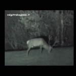 Cervo al pascolo 15-12-2013 (126) video