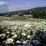 Albareto 13-05-2011 margherite (132)