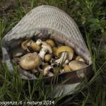Borgotaro prugnolo spinarolo Calocybe gambosa (15)