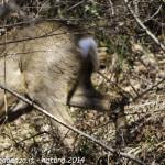 Capriolo femmina Borgo Val di Taro natura (3) specchio anale