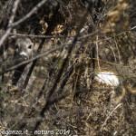 Capriolo femmina Borgo Val di Taro natura (7)