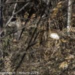 Capriolo femmina Borgo Val di Taro natura (9)