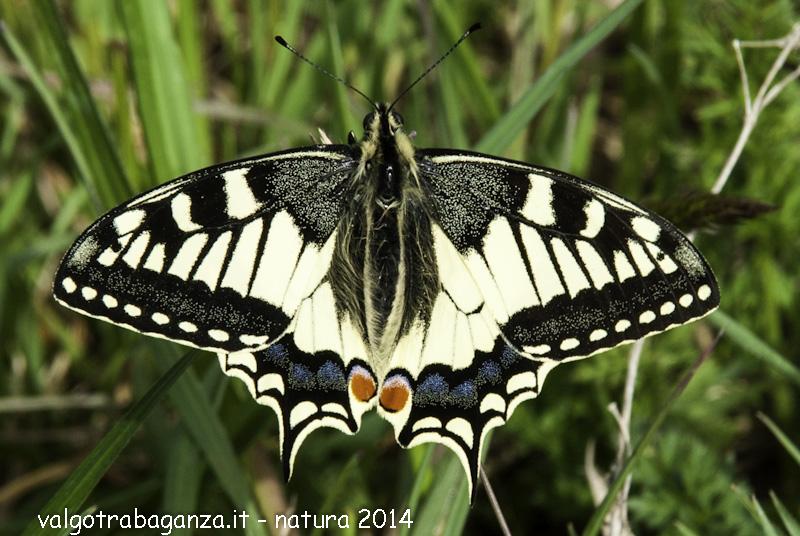 Macaone papilio machaon perla della natura una tra le - Immagini di farfalle a colori ...