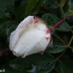 Rosa Settembrina fotofavolaracconto