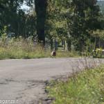 Fagiano Albareto (16) strada