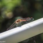 libellula rossa 2014 (1)