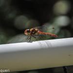 libellula rossa 2014 (2)