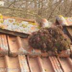 semprevivo dei tetti (3) foto