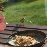 Cinciarella mangiatoia (17) teglia