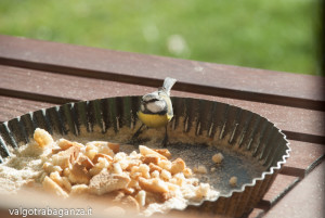 Cinciarella mangiatoia (19) teglia