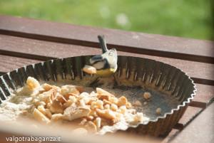 Cinciarella mangiatoia (20) teglia