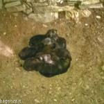 Canidi forse cuccioli di Lupo (15)