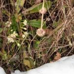 Primula e neve (2)