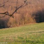 Capriolo Prato delle Volpi Berceto (103)