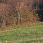 Capriolo Prato delle Volpi Berceto (104)