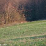 Capriolo Prato delle Volpi Berceto (114)