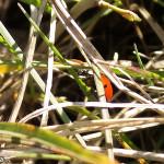Coccinella nell'erba (101)
