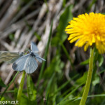 Farfalla celeste (100)