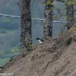 Gazza o Gazza ladra (107) natura