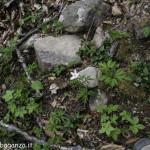 Anemone nemorosa (106) natura