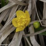 Caltha Palustris (104) natura