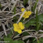 Caltha Palustris (105) natura