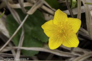 Caltha Palustris (107) natura