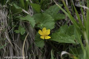 Caltha Palustris (119) natura