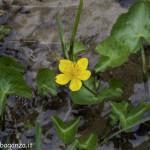 Caltha Palustris (126) natura