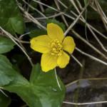 Caltha Palustris (128) natura