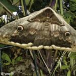 Falena (102) farfalla