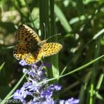 Farfalla arancione (112) natura