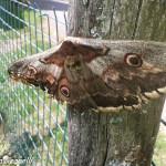 Saturnia del pero (100) farfalla