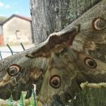 Saturnia del pero (101) farfalla