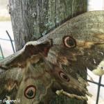 Saturnia del pero (104) farfalla
